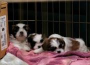 hermosos perritos Shih Tzu,