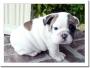 Bulldog Inglés cachorros para la venta