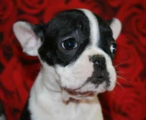 Cachorros bulldog frances para su adopcion
