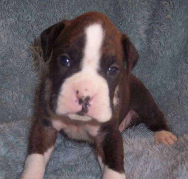 Preciosos cachorros de boxer de 2 meses; alta calidad excelente genetica