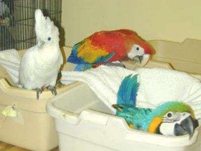 Huevos fértiles de loros y papagayos para la venta