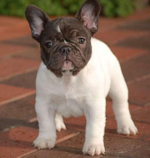 Cachorros de bulldog francés en miniatura