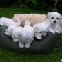 AKC registrados cachorros de Maltese