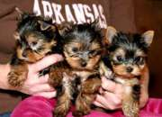 Regalo Adorables Toy Yorkshire Terrier !!!!