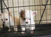 Cachorros de Chihuahua (Trini y Tequila)