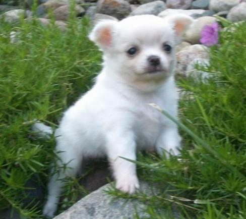 Chihuahua cachorros -male y femeninos para su nuevo hogar y para la adopción,