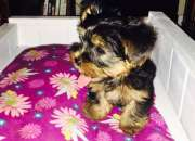 Regalo yorkshire terrier cachorros