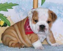 Buena y encantador cachorro de bulldog
