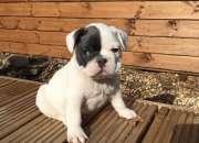 Cachorros bulldog frances