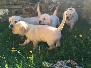 Magnífico, fornidos, cachorros de labrador
