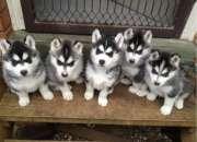 Lindo y adorables siberiano husky cachoros para regalo
