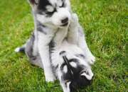 Dulce cachorros de husky siberiano