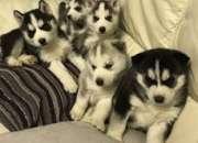 Cachorros de husky siberiano dulce N / B envíeme un texto a 775-583-8265