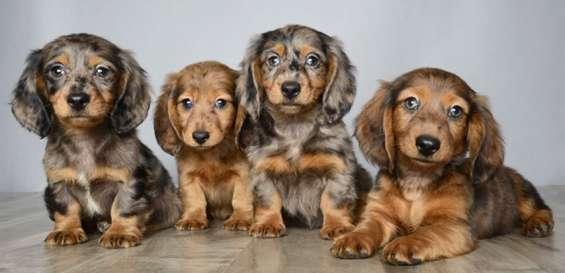 Dachshund puppies para la venta