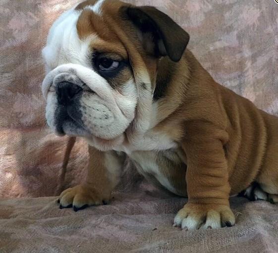 Akc registró cachorros de bulldog inglés. texto +1 (413) 728-9872.