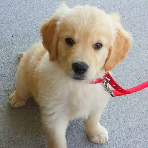 Nice new gorgeous golden retrievers pups for sale