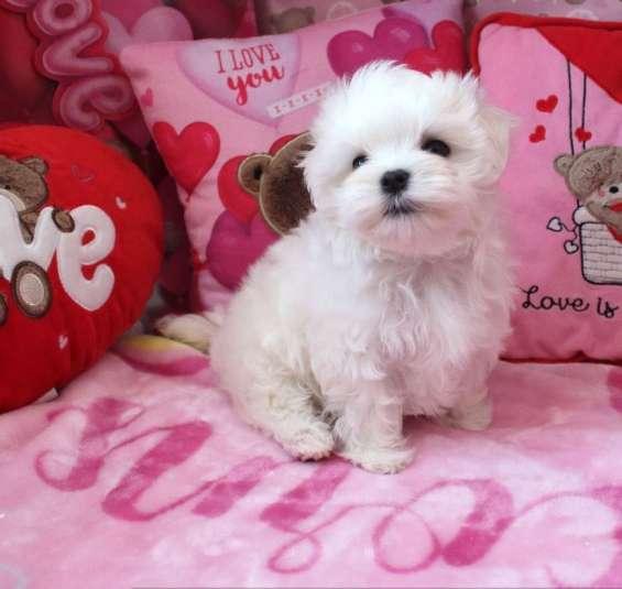 Lindo cachorro maltés