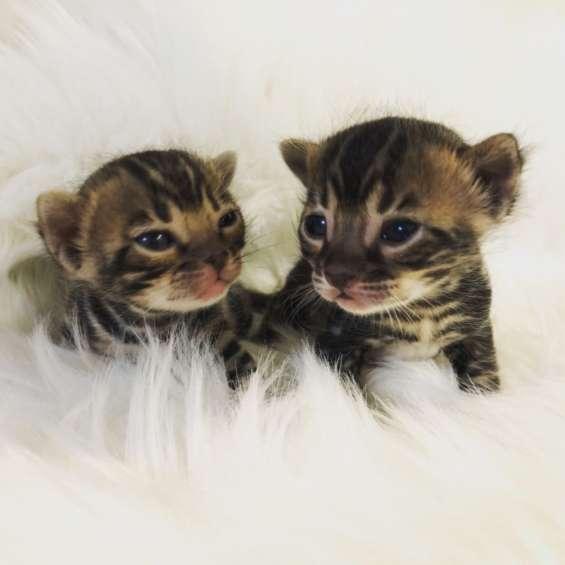 Impresionantes tica registrados gatitos de bengala