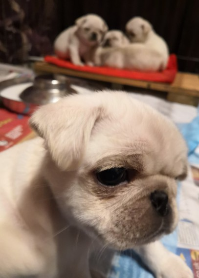 Chunky kc reg pug cachorros disponibles