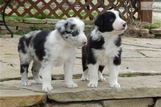 Cachorros border collie masculinos y femeninos disponibles ahora.