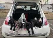 Cachorros De Gran Danés De pura raza