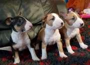 KC registró cachorros de Bull Terrier ingleses listos para partir