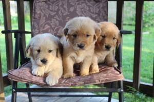 Lindos cachorros de golden retriever para los amantes de las mascotas